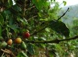 There are a 120 known species of coffee, though 75 per cent of the coffee consumed in the world is C. Arabica.