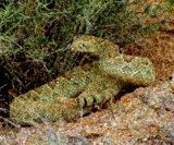 Mojave rattlesnakes have been seen around Alpine. Is it because of the rain?